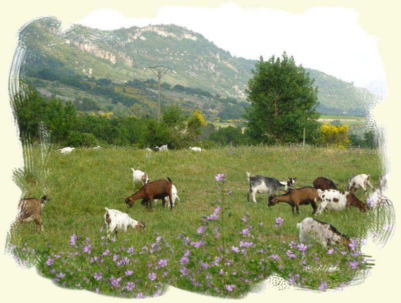 Troupeau de minichèvres au pâturage
