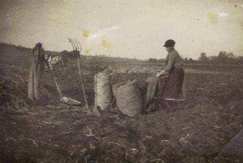 Mise en sac de la récolte de pommes de terre.