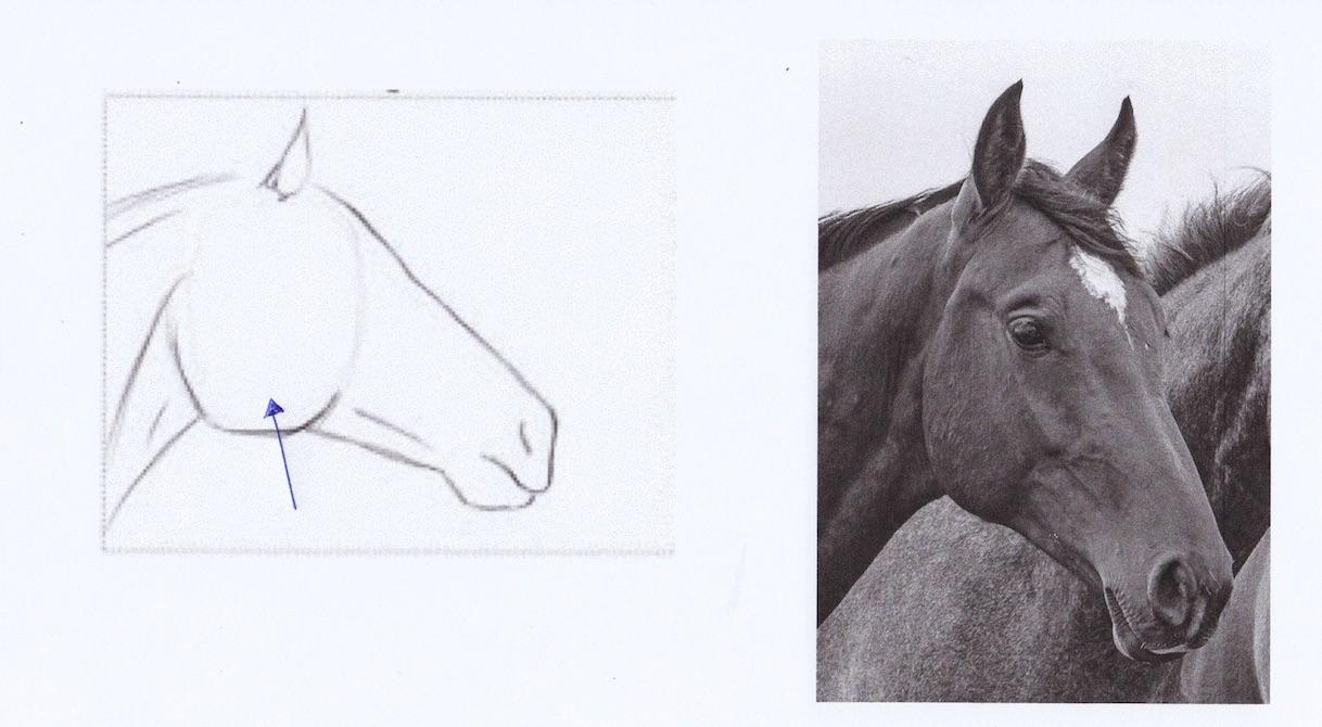 anatomie def cheval