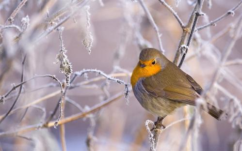 robin_bird_winter-birds_Desktop_Wallpapers_1280x800.jpg