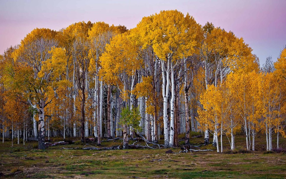 308517__birch-forest-in-fall_p.jpg