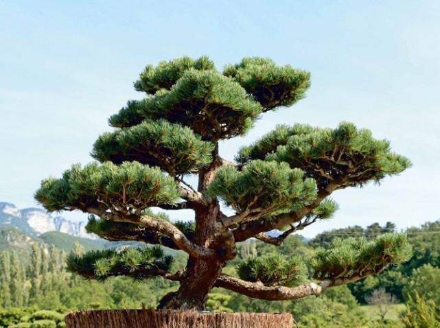 Tailler-ses-arbres-en-nuage-le-Pinus-pentaphylla_w641h478.jpg