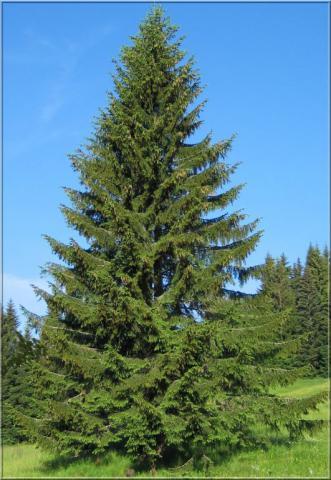 epicea-commun-ou-sapin-de-noel--lot-de-10-plants---taille-3040-cm-racines-nues-1308733944.jpg