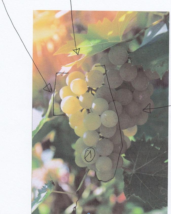 lumière raisin blanc corrigé.jpg