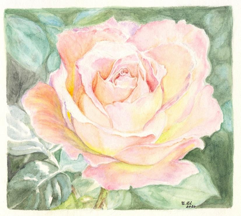 rose 2 trinh.jpg