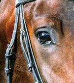 oeil cheval photo