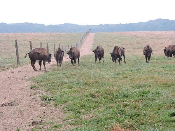 bisons 2016.jpg