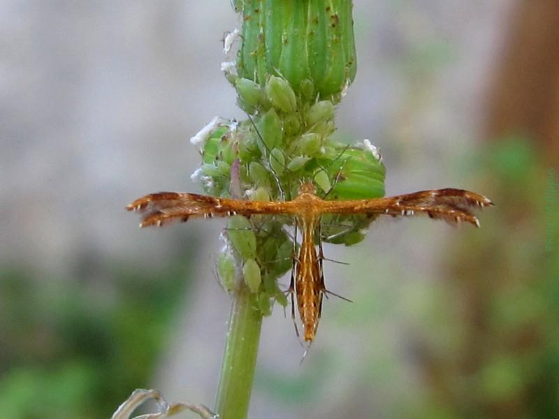 https://static.blog4ever.com/2012/04/692236/Pterophoridae-Stenodacma-wahlbergi--Zeller--1852--17.jpg