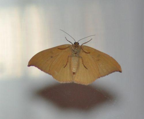 Watsonalla binaria (Hameçon, Binaire)
