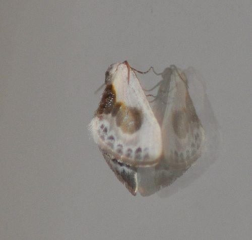 Cilix glaucata ,petite épine
