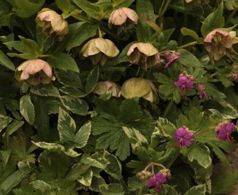 hellebore et geranium 8 juin 3.jpg