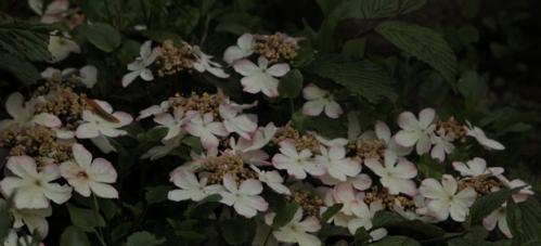 viburnum plicatum pink beauty 15 juin 1.jpg