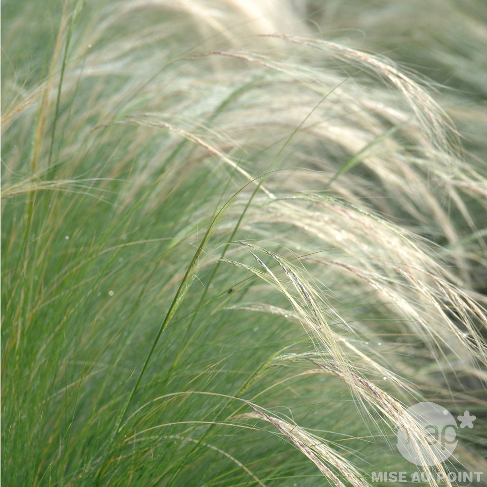 stipa tenuifolia.jpg