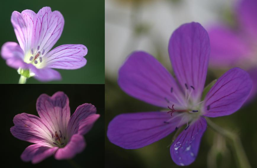 montage geranium.jpg