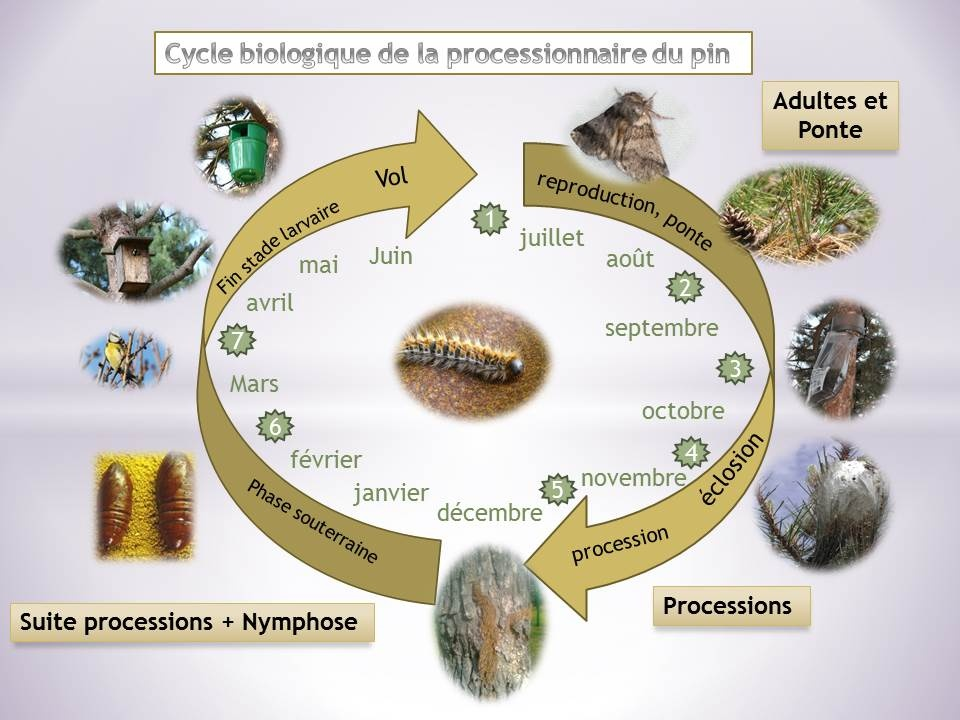 cycle processionaire.jpg