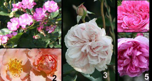 5 rosiers parfumés