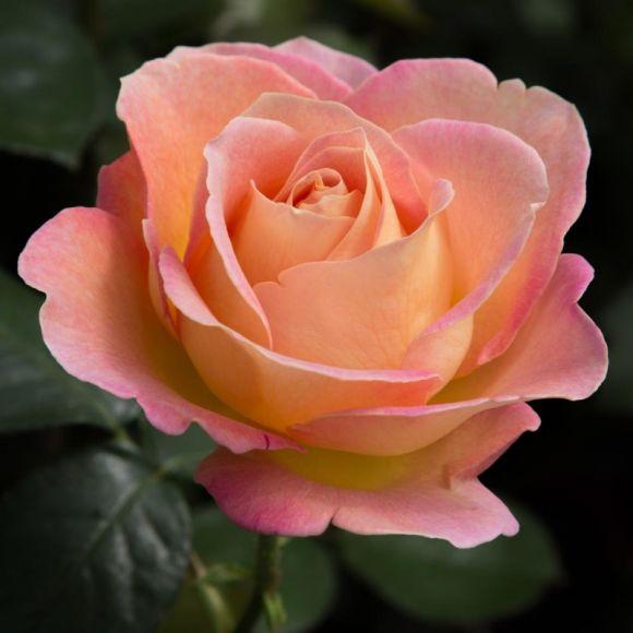 https://static.blog4ever.com/2012/07/706101/Rose---1.jpg