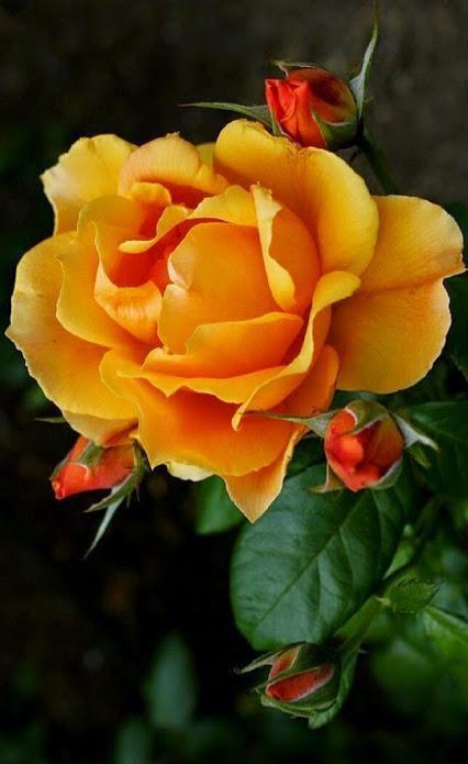 https://static.blog4ever.com/2012/07/706101/Rose-2.jpg