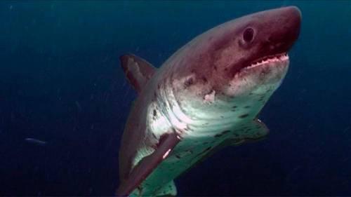 Requin Du Groenland.jpg