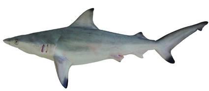 CarcharhinusAmblyrhynchoides.jpg