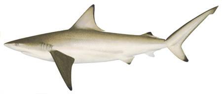 SharkAustralianBlacktip_Carcharhinus tilstoni.jpg