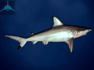 Carcharhinus amblyrhynchoides1.jpg
