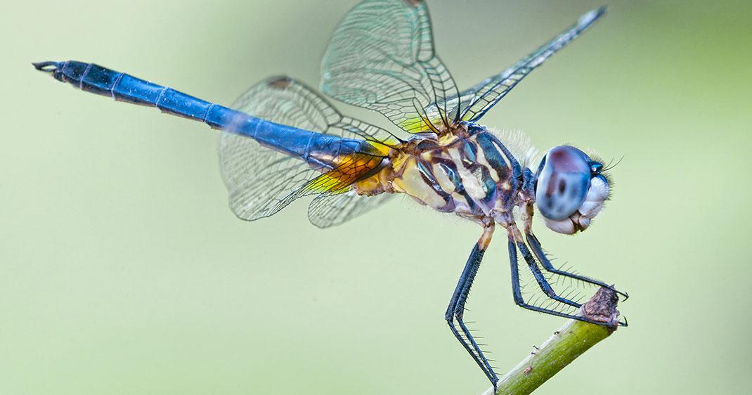 une-libellule-bleue.jpg