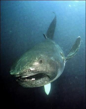 Requin grande gueule