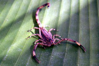 scorpion violet de la Réunion