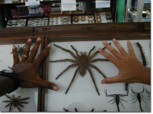 mygale géante