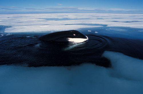 baleine du Groenland