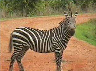 zèbre de Zambie