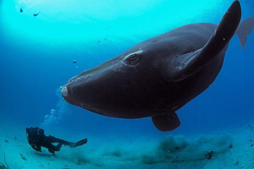 baleine franche d