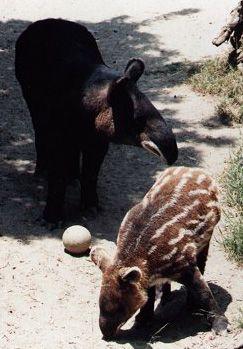 tapir des Andes