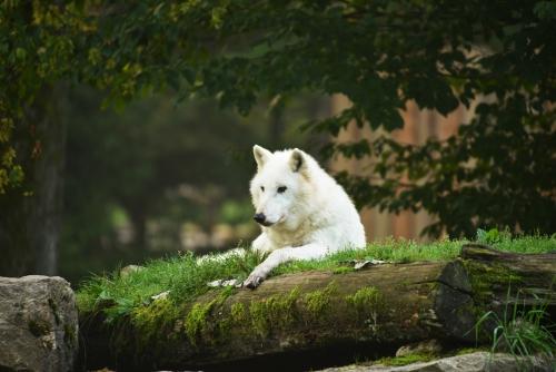loup-blanc.jpg