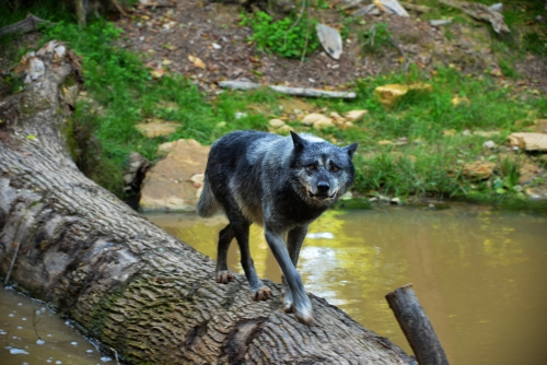 loup-noir.jpg