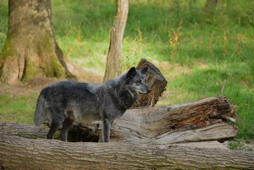 loup-noir2.jpg
