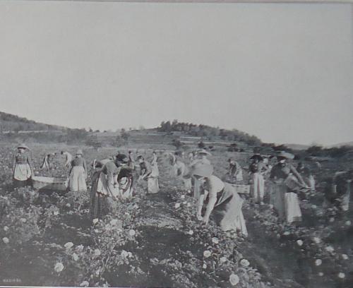 la cueillette des roses à Grasse.jpg