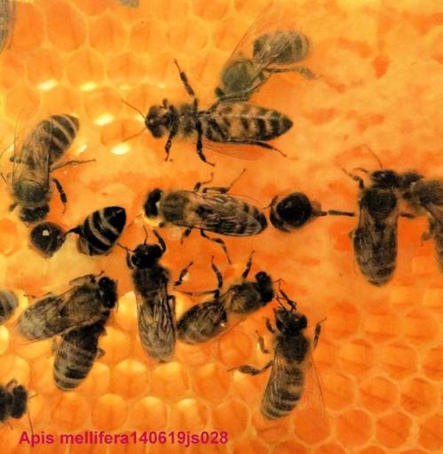 Danger pour les abeilles.JPG