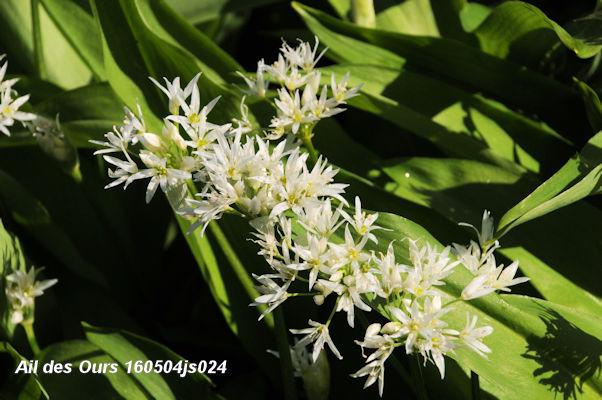 Allium ursinum 160504js024w.JPG
