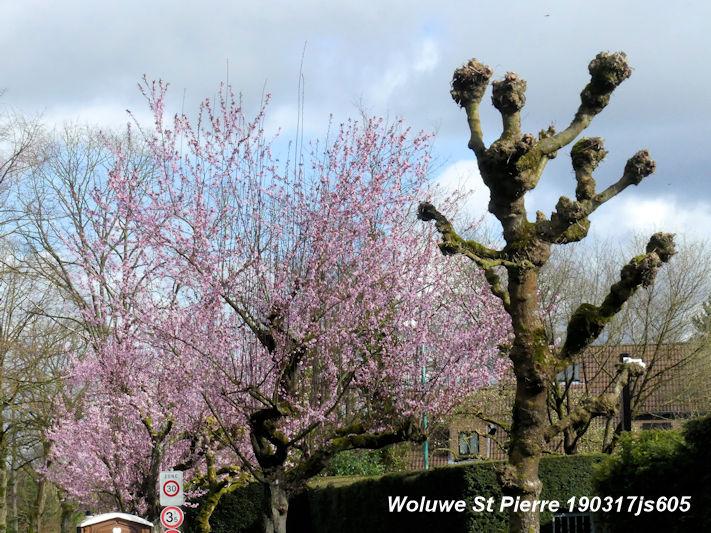 Cerisier 190317js605w.JPG
