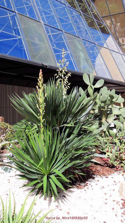Yucca sp (Nice)