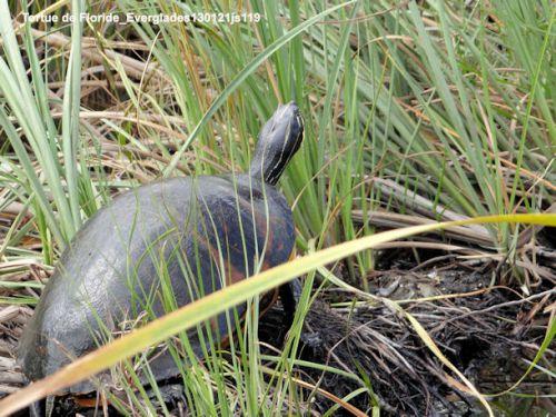 Tortues de Floride (Everglades)
