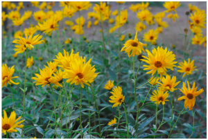 fleur de topinambour.png