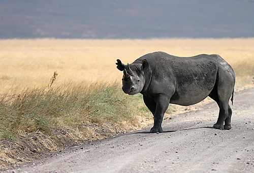 black rhino in ngorongoro crater.jpg