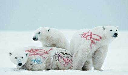 Ours blancs tagués.jpg