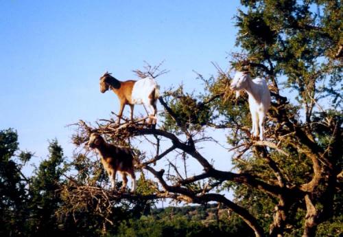 Chèvres et arganier.jpg
