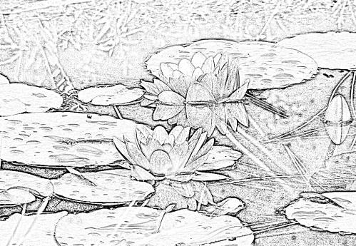 fleurs-de-nympheas-roses-01 (1)A.png