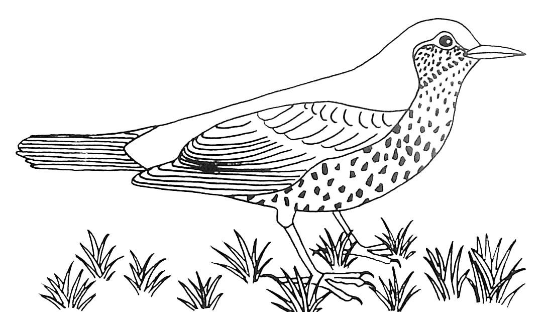 oiseau grive draine.jpg