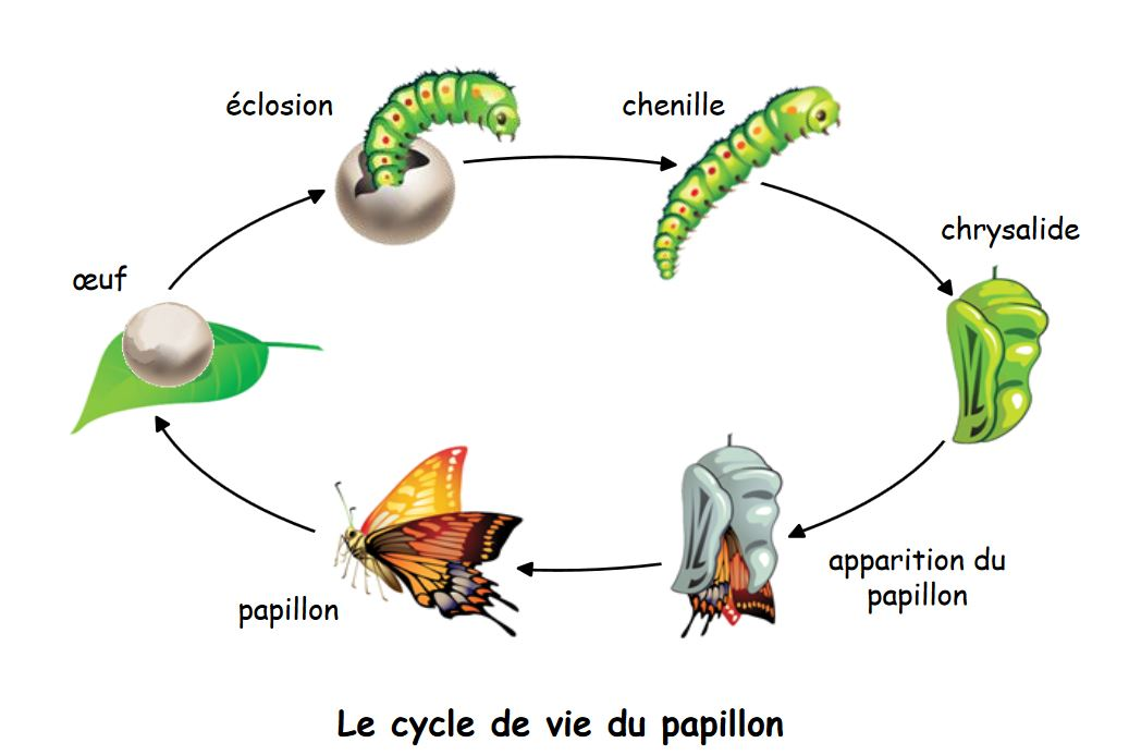 Cycle de vie papillon.jpg